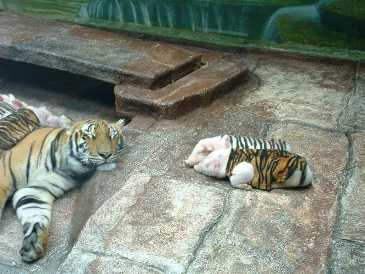 Tygří mláďátka